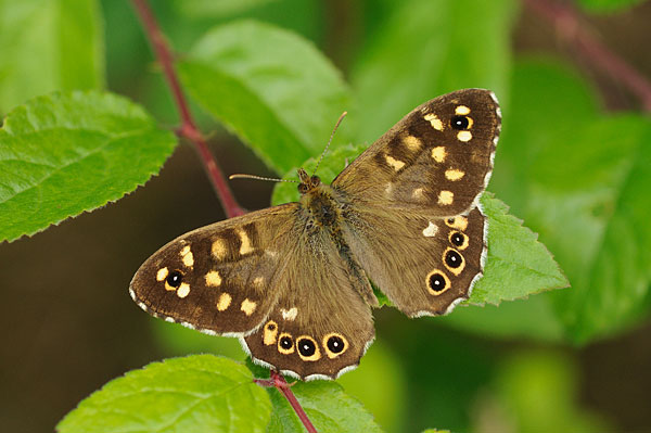 www.britishbutterflies.co.uk