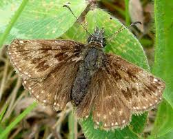 Dingy Skipper Butterfly (Photo: Dave Evans)